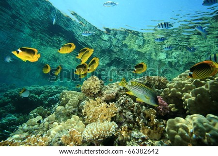 Tropical Fish and Coral Reef: Butterflyfish, Sergeant Major Fish, Unicornfish and Sweetlips - stock photo