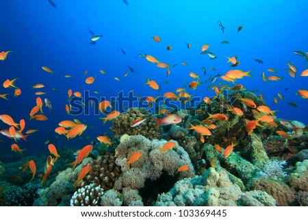 Tropical Fish and Coral Reef in the Red Sea