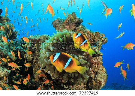 Tropical Fish and Coral Reef (Pair of Clownfish and Anthias)