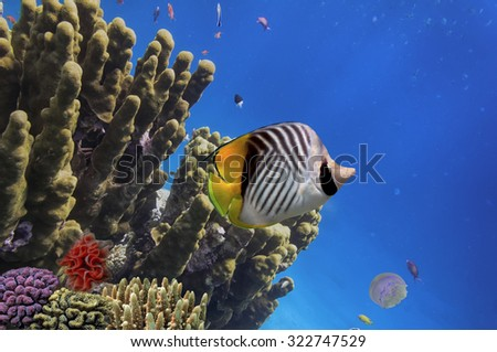 Tropical fish and Hard corals in the Red Sea, Egypt. - stock photo
