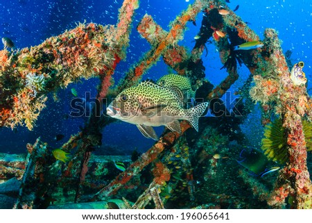 Tropical fish and SCUBA divers on an underwater shipwreck - stock photo