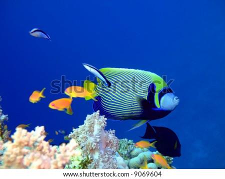 Tropical fish Angelfish . Red Sea - stock photo