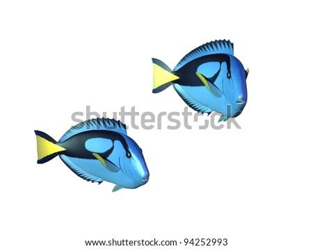Tropical fish blue tang - stock photo