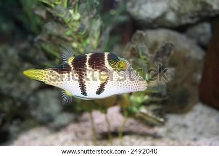 Tropical fish - Canthigaster solandri - stock photo