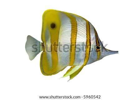 Tropical Fish Chelmon rostratus isolated on white - stock photo