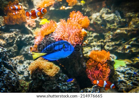 Tropical fish - Clownfish and Blue Tang in the water with corals  - stock photo