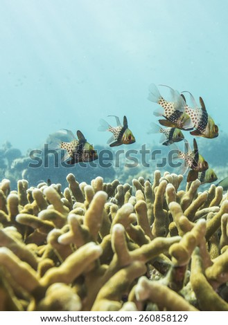 Tropical fish, corals and sponges around a thriving tropical coral reef