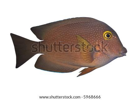 Tropical Fish Ctenochaetus truncatus isolated on white - stock photo