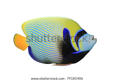Tropical Fish: Emperor Angelfish (Pomacanthus imperator) isolated on white background - stock photo