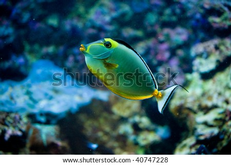 Tropical Fish in an aquarium. Blue tang