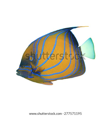 Tropical fish isolated: Blue-ringed Angelfish on white background - stock photo
