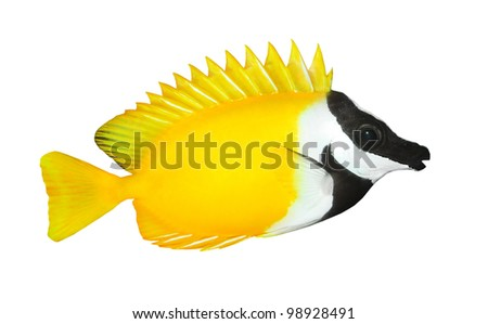 Tropical fish isolated on a white background. - stock photo
