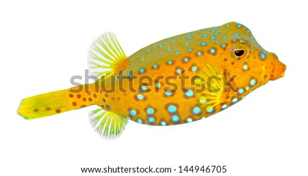 Tropical fish isolated on a white background.  The Yellow  Boxfish (Ostracion cubicus). - stock photo