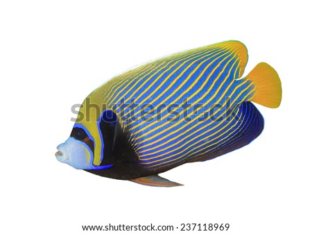 Tropical Fish isolated on white background: Emperor Angelfish - stock photo