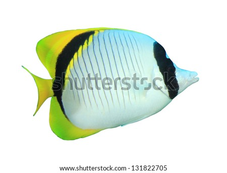 Tropical Fish isolated on white background: Lined Butterflyfish - stock photo