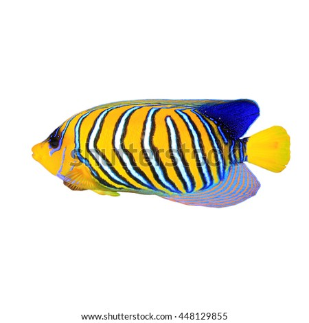 Tropical fish isolated: Regal (royal) Angelfish on white background - stock photo