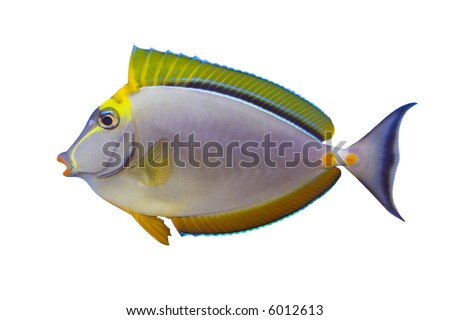 Tropical Fish Naso Tang Elegans isolated on white - stock photo