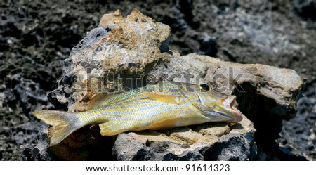 Tropical fish on lava rock