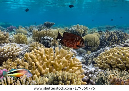 Tropical fish on the coral reef.