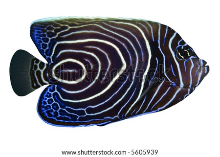Tropical Fish Pomacanthus rhomboides isolated on white - stock photo