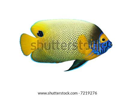 Tropical fish Pomacanthus xanthometopon isolated on white - stock photo
