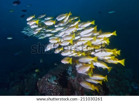 Tropical fish school, corals and sponges around a thriving tropical coral reef. - stock photo