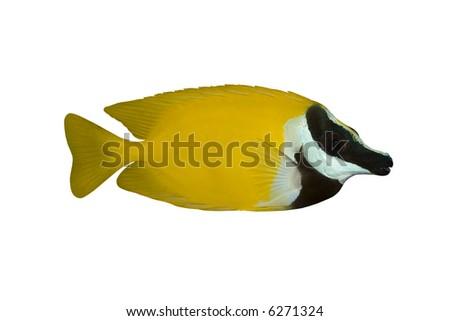 Tropical Fish Siganus vulpinus isolated on white - stock photo