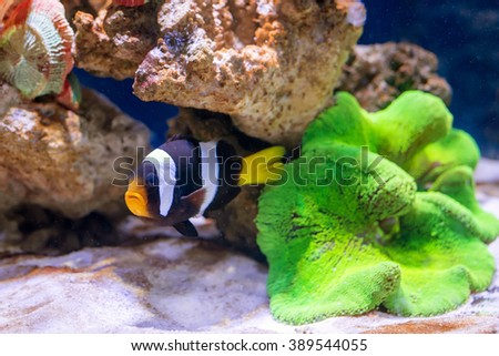 Tropical fish swim near coral reef. Underwater life