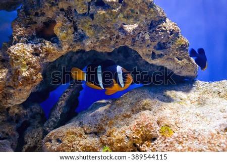 Tropical fish swim near coral reef. Underwater life - stock photo