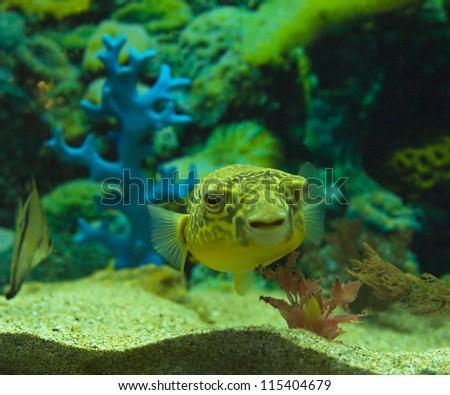 Tropical fish Tetraodon fahaka, lives in river Nile in Africa. - stock photo