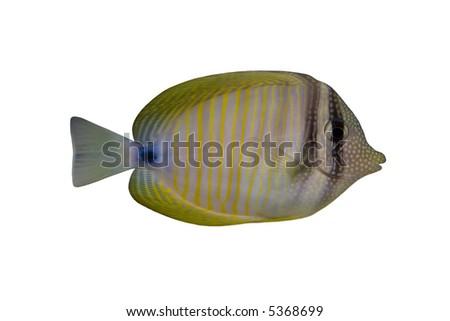 Tropical Fish Zebrasoma desjardinii isolated on white - stock photo