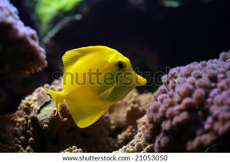 tropical fish (Zebrasoma flavescens) floats in the aquarium