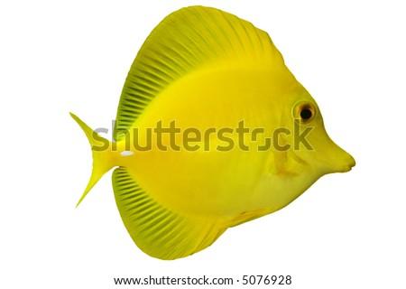Tropical Fish Zebrasoma flavescens isolated on white - stock photo