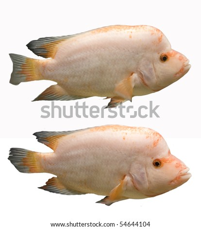 Tropical fishes in an aquarium, isolated, white background - stock photo