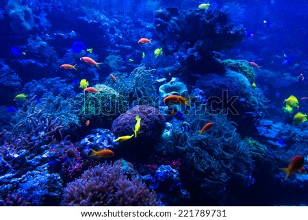 tropical fishes meet in blue coral reef sea water aquarium. Underwater paradise - stock photo