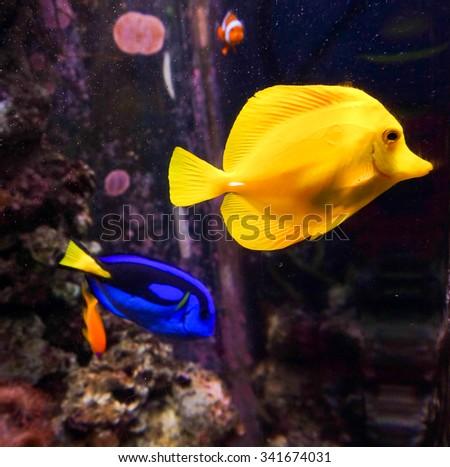 tropical fishes meet in blue coral reef sea water aquarium. Underwater paradise - stock photo