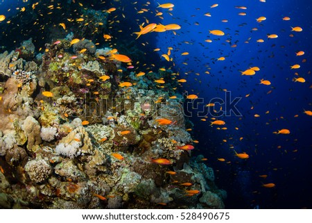 Tropical fishes on a beautiful coral garden in Red Sea