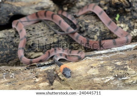 Tropical flat snake (Siphlophis compressus) - stock photo