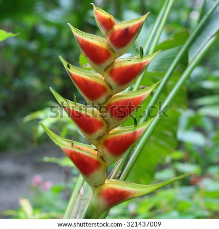 TROPICAL FLOWER OF BARBADOS, HELICONIA - Flower forest, St. Joseph, Barbados. - stock photo