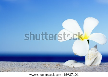 Tropical flower Plumeria alba and seashell on the sandy beach