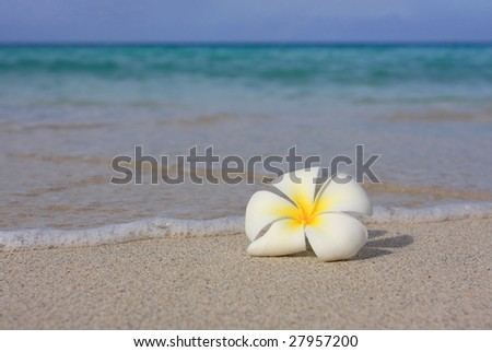 Tropical flower Plumeria alba (White Frangipani) on the sandy beach - stock photo