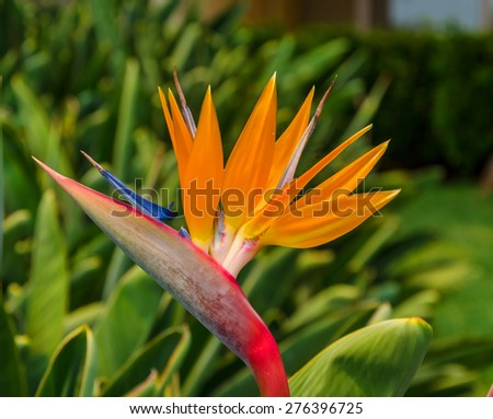 Tropical flower strelitzia. Funchal, Madeira, Portugal. - stock photo
