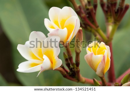 Tropical flowers frangipani in Thailand - stock photo