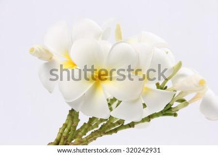 Tropical flowers frangipani (plumeria) - stock photo