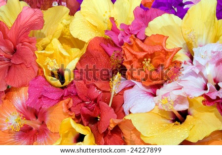 Tropical flowers - Hibiscus  and Bougainvillea - stock photo