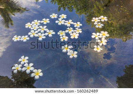 tropical frangipani flower floating in the water with the reflection of trees and sky