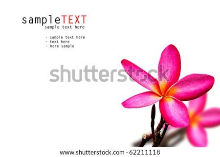 Tropical frangipani isolated on white background - stock photo