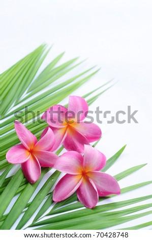 Tropical frangipani on palm leaf - stock photo