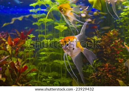 tropical freshwater aquarium with angelfish
