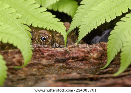 Tropical Frog is behind the rock and fern, Close up shot - stock photo